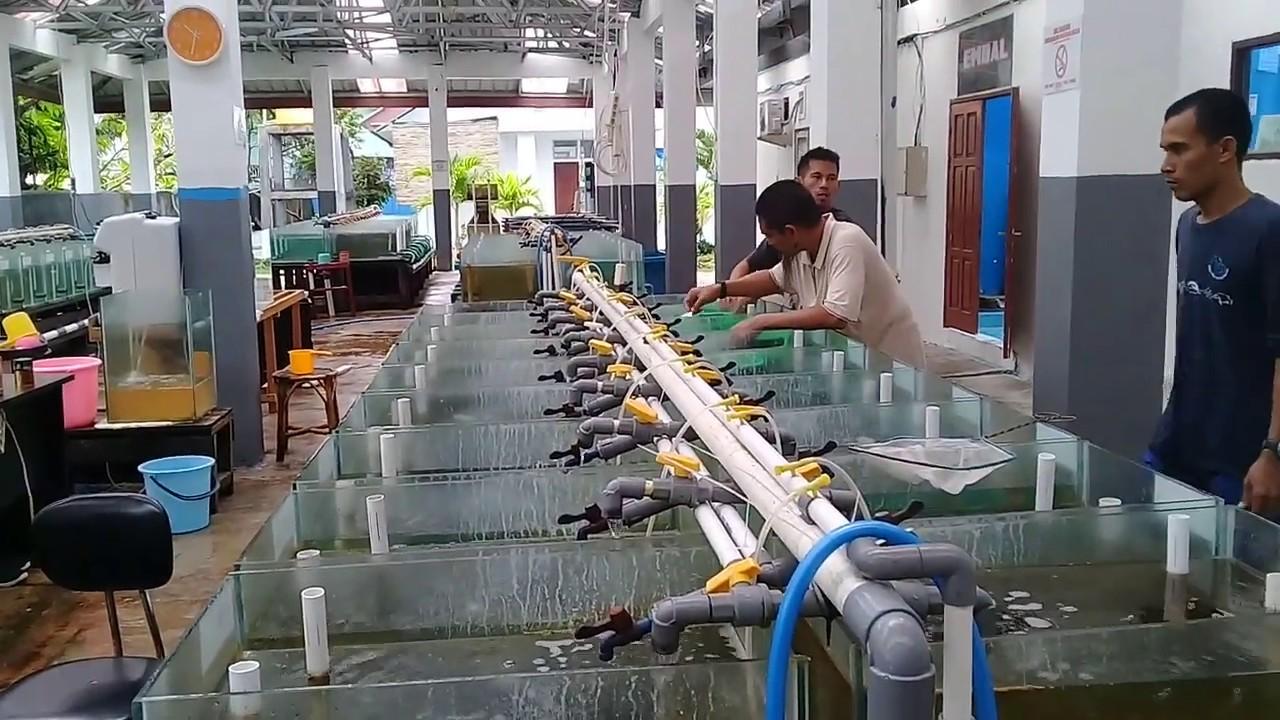 Pemeliharaan Clownfish tahap Grading /Einstufen der Clownfische
