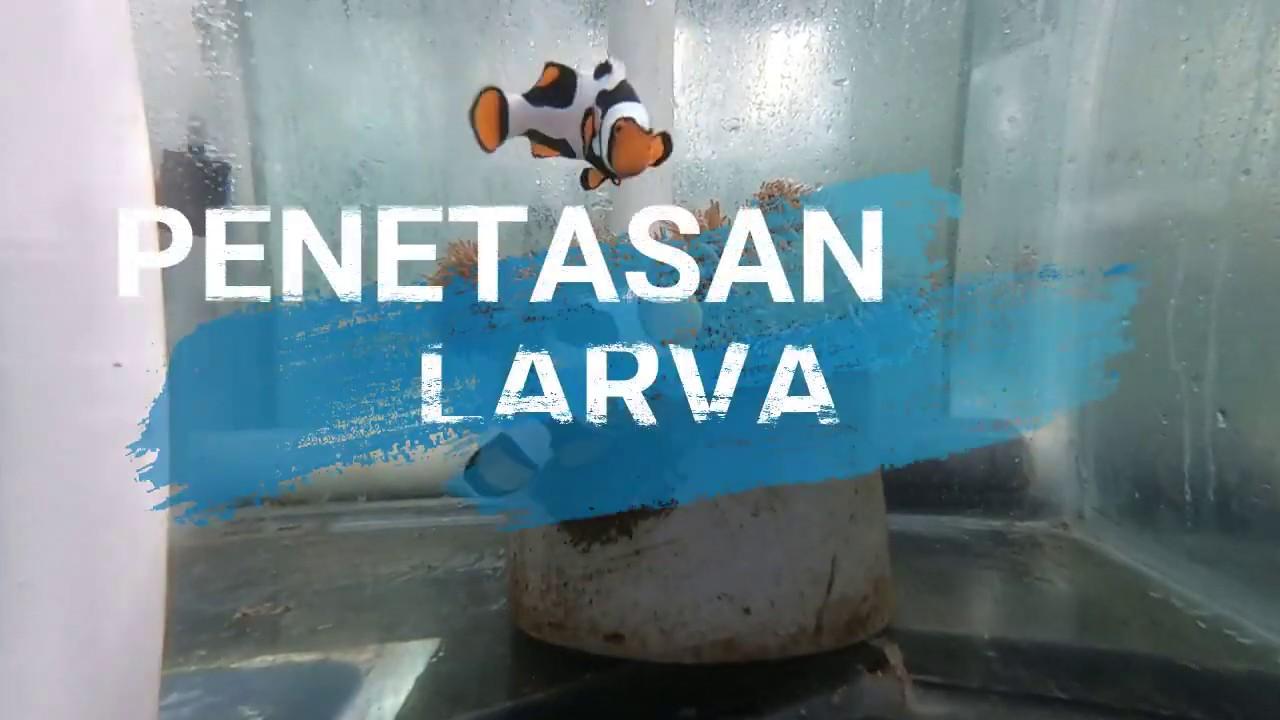 Methoden zum Schlüpfen von Clownfischen im Ambon Sea Culture Center.