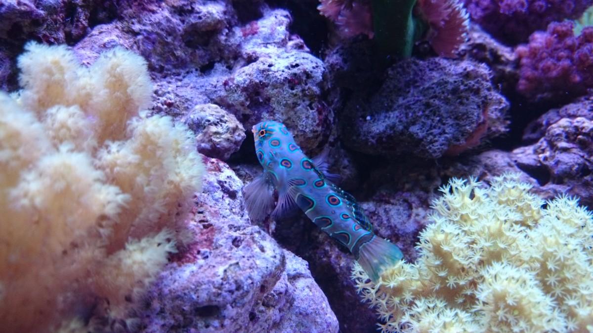 LSD Fisch Männchen Synchiropus picturatus