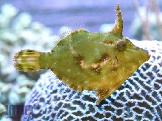 A. tomentosus Weibchen