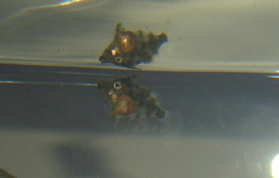 Tangfeilenfischjungtiere, heute