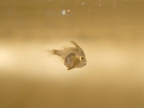 Tangfeilenfischlarven, heute